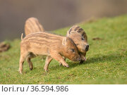 Wild boar (Sus scrofa) piglets play-fighting. Forest of Dean, Gloucestershire... Стоковое фото, фотограф Oscar Dewhurst / Nature Picture Library / Фотобанк Лори
