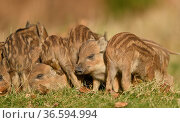 Wild boar (Sus scrofa) piglets resting. Forest of Dean, Gloucestershire... Стоковое фото, фотограф Oscar Dewhurst / Nature Picture Library / Фотобанк Лори