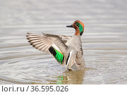 Eurasian teal (Anas crecca) male flapping its wings. Gloucestershire... Стоковое фото, фотограф Oscar Dewhurst / Nature Picture Library / Фотобанк Лори