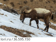 Himalayan ibex (Capra sibirica hemalayanus) males, resting and grazing. They live at elevations of 3800m and higher, western Himalaya mountains, Kibber Wildlife Sanctuary, India. April. Стоковое фото, фотограф Yashpal Rathore / Nature Picture Library / Фотобанк Лори