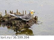 Grauer Nymphensittich. Стоковое фото, фотограф Zoonar.com/Martina Berg / easy Fotostock / Фотобанк Лори