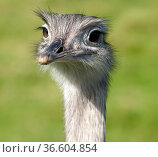 Nandu, Rhea americana. Стоковое фото, фотограф Zoonar.com/Manfred Ruckszio / age Fotostock / Фотобанк Лори