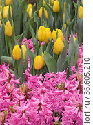 Tulpen, tulpe, tulipa,gelb, hyazinthe, hyazinthen, garten, gartenblume... Стоковое фото, фотограф Zoonar.com/Volker Rauch / easy Fotostock / Фотобанк Лори