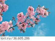 Kirsche, zierkirsche, kirschblüten, prunus, blüte, blüten, blume,... Стоковое фото, фотограф Zoonar.com/Volker Rauch / easy Fotostock / Фотобанк Лори