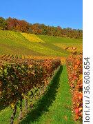 BW. Gündelbach, bunte Weinberge im Herbst , Stromberggebiet in Württemberg... Стоковое фото, фотограф Zoonar.com/Bildagentur Geduldig / easy Fotostock / Фотобанк Лори