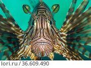 Portrait of a lionfish (Pterois volitans), a study of concentration as it hunts. Salawati Island, Raja Ampat, Indonesia. Ceram Sea. Стоковое фото, фотограф Alex Mustard / Nature Picture Library / Фотобанк Лори