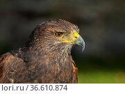 Wüstenbussard, Harris Hawk, Parabuteo unicinctus / Bay-winged Hawk... Стоковое фото, фотограф Zoonar.com/Stan / age Fotostock / Фотобанк Лори