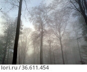 Nebellandschaft, Wald, Nebelwald, Стоковое фото, фотограф Zoonar.com/Manfred Ruckszio / age Fotostock / Фотобанк Лори
