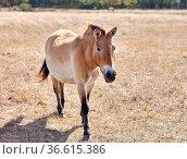 Przewalski's wild horse running in virgin steppes of Askania-Nova... Стоковое фото, фотограф Zoonar.com/Viktor Gladkov / easy Fotostock / Фотобанк Лори