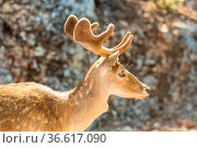 close-up portrait of young sika deer in the zoo. Стоковое фото, фотограф Константин Лабунский / Фотобанк Лори