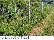 Stachelbeere, Ribes, uva-crispa, Strauch, Стоковое фото, фотограф Zoonar.com/Manfred Ruckszio / age Fotostock / Фотобанк Лори