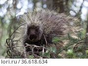 Die Baumstachler oder Neuweltstachelschweine sind eine Familie aus... Стоковое фото, фотограф Zoonar.com/Ralf Weise / age Fotostock / Фотобанк Лори