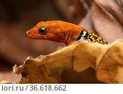 Oshaughnessy Gecko (Gonatodes concinnatus), Männchen, Familie der... Стоковое фото, фотограф Zoonar.com/Georg / age Fotostock / Фотобанк Лори