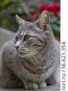 Graue Katze in italienischem Dorf. Стоковое фото, фотограф Zoonar.com/Eder Christa / age Fotostock / Фотобанк Лори