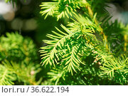 Taxus baccata, Eibe, Yew, frische Nadeln, young leaves. Стоковое фото, фотограф Zoonar.com/Peter Himmelhuber / age Fotostock / Фотобанк Лори