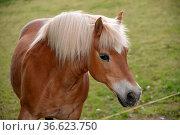 Haflinger, pferd, kopf, weide, pferdeweide, paddock, tier, nutztier, Стоковое фото, фотограф Zoonar.com/Volker Rauch / easy Fotostock / Фотобанк Лори