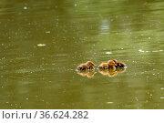 Enten Küken in einem Weiher. Стоковое фото, фотограф Zoonar.com/Kay Augustin / easy Fotostock / Фотобанк Лори