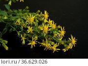 Goldrute, solidago virgaurea, echte, Стоковое фото, фотограф Zoonar.com/Manfred Ruckszio / age Fotostock / Фотобанк Лори
