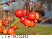 Kleine Äpfel, klein, apfel, äpfel, zwergäpfel, wildapfel. wildäpfel... Стоковое фото, фотограф Zoonar.com/Volker Rauch / easy Fotostock / Фотобанк Лори
