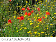 Blumenwiese, blume, blumen, bunt,rot, gelb, mohn, klatschmohn, blume... Стоковое фото, фотограф Zoonar.com/Volker Rauch / easy Fotostock / Фотобанк Лори