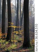 Herbstwald, Herbst, baum, buche, buchen, buchenwald, blatt, blätter... Стоковое фото, фотограф Zoonar.com/Volker Rauch / easy Fotostock / Фотобанк Лори