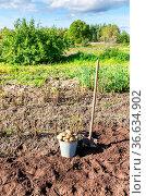 Freshly harvested organic potatoes in metal bucket and spade at the... Стоковое фото, фотограф Zoonar.com/Alexander Blinov / easy Fotostock / Фотобанк Лори