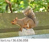Eastern gray squirrel (Sciurus carolinensis), also known as simply grey squirrel, sitting on bench. Стоковое фото, фотограф Валерия Попова / Фотобанк Лори