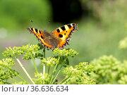 Kleiner, Fuchs, Aglais, urticae, Schmetterling, Engelwurz. Стоковое фото, фотограф Zoonar.com/Manfred Ruckszio / age Fotostock / Фотобанк Лори