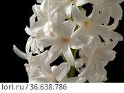 Hyazinthe, Weisse, Hyazinthus orientalis, Стоковое фото, фотограф Zoonar.com/Manfred Ruckszio / age Fotostock / Фотобанк Лори