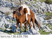 Zwei Shetlandponies im Karstgebiet des Velebitgebirges genießt die... Стоковое фото, фотограф Zoonar.com/Eder Hans / easy Fotostock / Фотобанк Лори