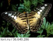 Segler, Schmetterling, Falter, Insekt. Стоковое фото, фотограф Zoonar.com/Manfred Ruckszio / age Fotostock / Фотобанк Лори
