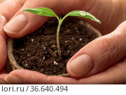 Makro-Aufnahme - Tomaten-Pflänzchen in Händen gehalten. Стоковое фото, фотограф Zoonar.com/Petra Schüller / easy Fotostock / Фотобанк Лори