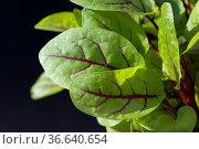 Blutampfer, Rumex, sanguineus, Salat, Стоковое фото, фотограф Zoonar.com/Manfred Ruckszio / age Fotostock / Фотобанк Лори