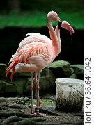 Flamingos beim Trinken aus einem Eimer. Стоковое фото, фотограф Zoonar.com/Martina Berg / easy Fotostock / Фотобанк Лори