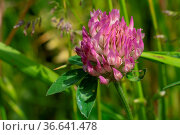 Red clover (Trifolium pratense), flowers of meadows. Стоковое фото, фотограф Zoonar.com/Alexander Ludwig / easy Fotostock / Фотобанк Лори