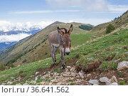 Esel weidet auf einer einsamen Bergwiese in der Gebirgsgruppe des... Стоковое фото, фотограф Zoonar.com/Eder Christa / easy Fotostock / Фотобанк Лори
