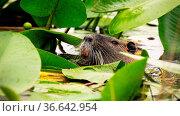 Wurasian beaver, castor fiber, floating in water and head peeking... Стоковое фото, фотограф Zoonar.com/Jakub Mrocek / easy Fotostock / Фотобанк Лори