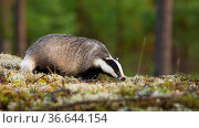 European badger, meles meles, sniffing on moss in summertime nature... Стоковое фото, фотограф Zoonar.com/Jakub Mrocek / easy Fotostock / Фотобанк Лори