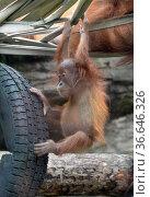 Детёныш суматранского орангутана (Sumatran orangutan) в Московском зоопарке. Редакционное фото, фотограф Free Wind / Фотобанк Лори