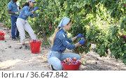 Focused young farm workwoman working in fruit garden in summer, harvesting ripe organic plums. Стоковое видео, видеограф Яков Филимонов / Фотобанк Лори
