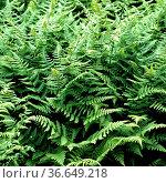 Ruprechtsfarn, Currania robertiana. Стоковое фото, фотограф Zoonar.com/Manfred Ruckszio / age Fotostock / Фотобанк Лори