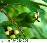 Guave, Echte Guave, Psidium guajava, Exotische Frucht, exotisch, ... Стоковое фото, фотограф Zoonar.com/Manfred Ruckszio / age Fotostock / Фотобанк Лори