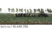 Kohlernte, Kohl, Brassica, oleracea, Стоковое фото, фотограф Zoonar.com/Manfred Ruckszio / age Fotostock / Фотобанк Лори