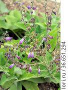 Salbei, Salvia przewalskii, Heilpflanzen, Стоковое фото, фотограф Zoonar.com/Manfred Ruckszio / age Fotostock / Фотобанк Лори