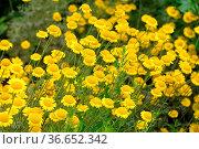 Färber-Hundskamille, eine Wildpflanze - yellow chamomile, a wildflower... Стоковое фото, фотограф Zoonar.com/Liane Matrisch / easy Fotostock / Фотобанк Лори