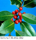 Stechpalme, Ilex aquifolium, Strauch, - Стоковое фото, фотограф Zoonar.com/Manfred Ruckszio / age Fotostock / Фотобанк Лори