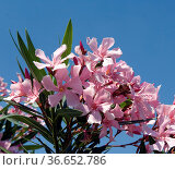 Oleander, Nerium Oleander, Giftpflanze, Стоковое фото, фотограф Zoonar.com/Manfred Ruckszio / age Fotostock / Фотобанк Лори