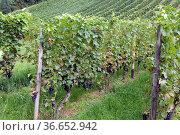 Weinberg, Barbera rossa, Wein, Weinpflanzen, Reben, Fruechte, Beeren... Стоковое фото, фотограф Zoonar.com/Manfred Ruckszio / age Fotostock / Фотобанк Лори