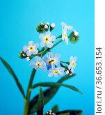 Sumpfvergissmeinnicht, Myosotis palustris, Wasserpflanzen. Стоковое фото, фотограф Zoonar.com/Manfred Ruckszio / age Fotostock / Фотобанк Лори