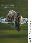 Stockente, Wildente, Anas platyrhynchos, Mallard schwimmt auf Wasser... Стоковое фото, фотограф Zoonar.com/© Jens Schmitz / easy Fotostock / Фотобанк Лори